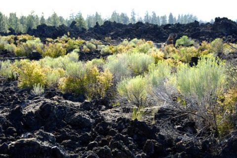 Hervorwachsende Pflanzen aus altem Lavagestein, Newberry Shield Volcano, Oregon (Quelle: Anita George)